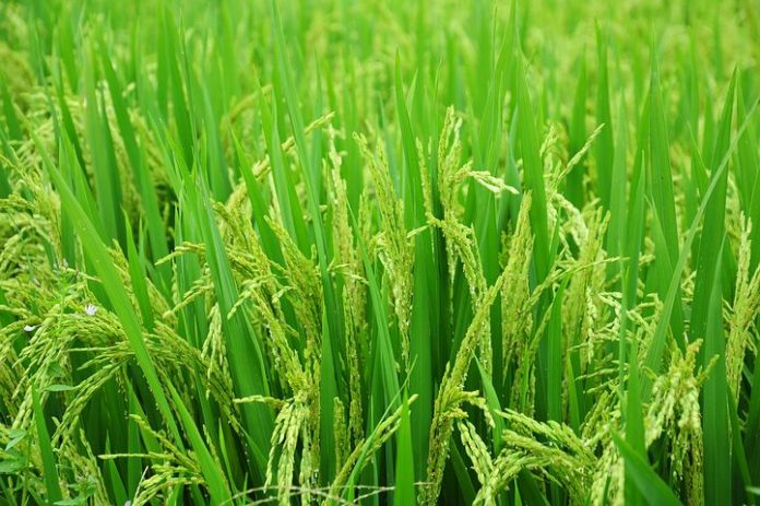 rice 1491868 480